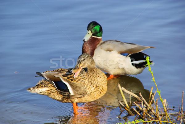 Сток-фото: утки · 10 · природы · зеленый · синий · птиц