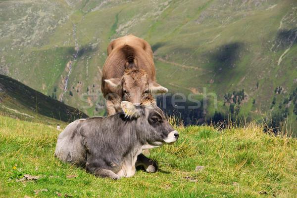 alp cow 10 Stock photo © LianeM