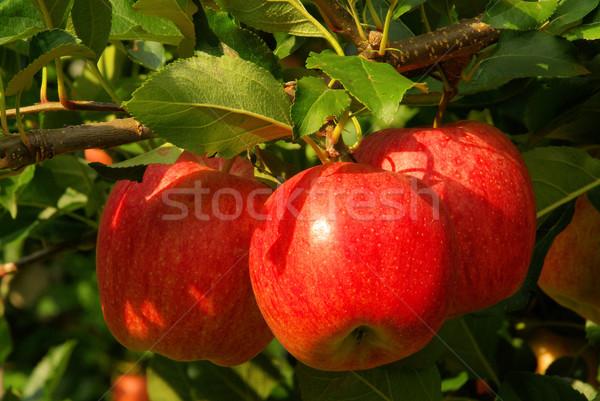 Délelőtt almafa 13 fa étel levél Stock fotó © LianeM