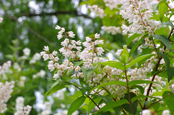 белый кустарник цветок природы лист Сток-фото © LianeM