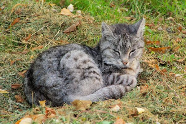 Kedi 31 göz cilt kafa kedi Stok fotoğraf © LianeM