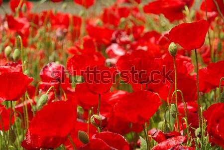 Stock fotó: Kukorica · pipacs · nyár · legelő · virág · vad