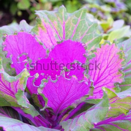 decorative cabbage  Stock photo © LianeM