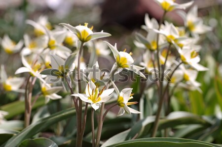 wild tulip Tulipa turkestanica  Stock photo © LianeM