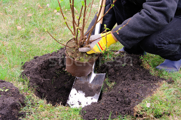 planting a shrub 10 Stock photo © LianeM