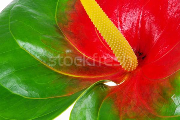 Stock photo: Anthurium 29