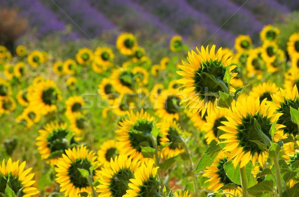 lavender and  sunflowers 07 Stock photo © LianeM