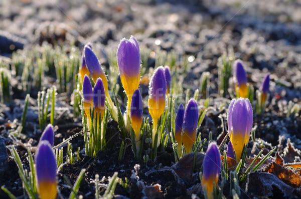 Crocus luciole printemps jardin usine rose Photo stock © LianeM