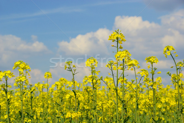 Rapeseed 32 Stock photo © LianeM