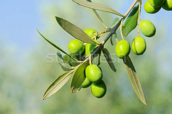Olive 41 Stock photo © LianeM