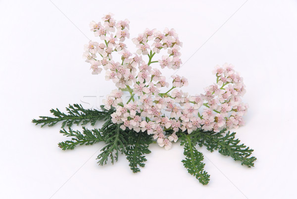 Yarrow 02 Stock photo © LianeM