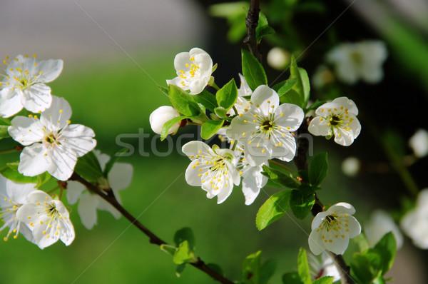 plum blossom 39 Stock photo © LianeM