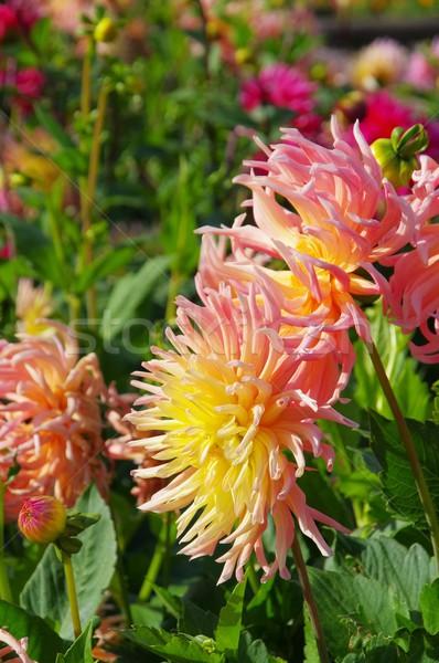 Stockfoto: Dahlia · bloem · natuur · blad · groene · Geel