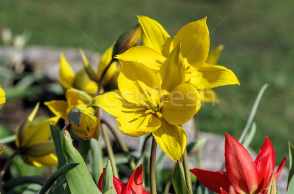 wild tulip Tulipa sylvestris Stock photo © LianeM