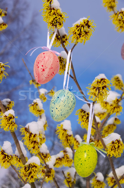 Krzew Wielkanoc czasu śniegu kwiat ogród Zdjęcia stock © LianeM