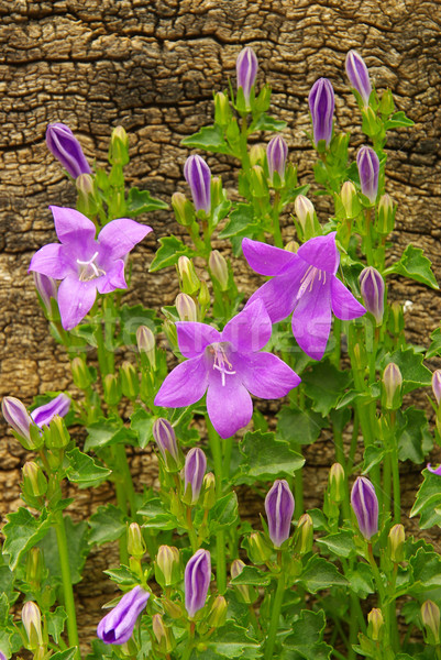 Сток-фото: цветы · природы · лет · зеленый · синий · завода