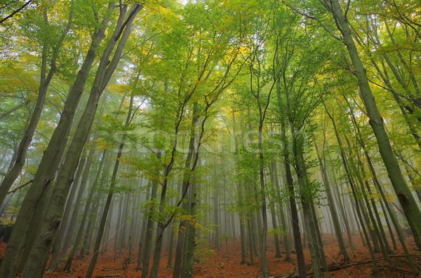 beech forest in fog 05 Stock photo © LianeM
