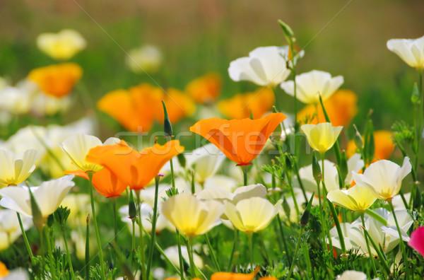 Stok fotoğraf: Kaliforniya · haşhaş · 19 · çiçek · doğa · bahçe