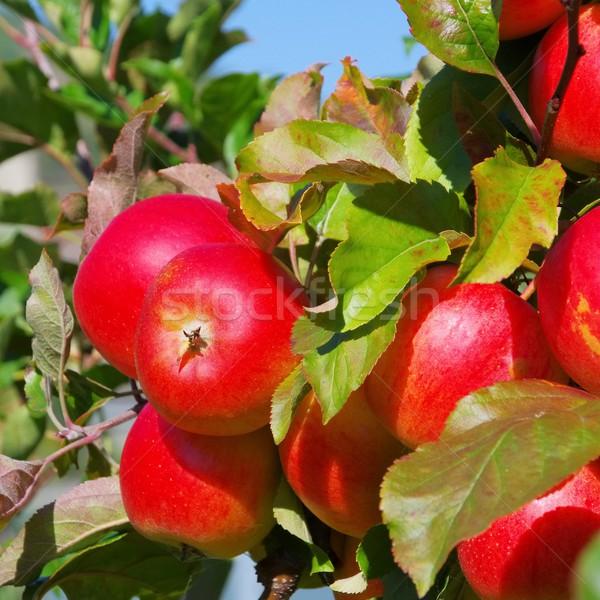 apple on tree  Stock photo © LianeM