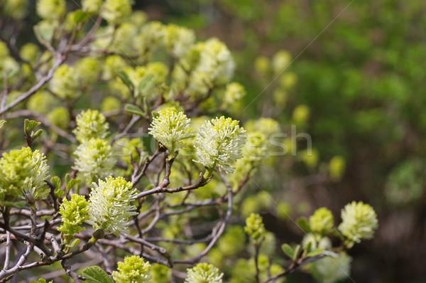 the plant Fothergilla gardenii Murray Stock photo © LianeM