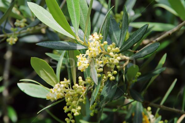 Olajfa virág fa fa természet levél Stock fotó © LianeM