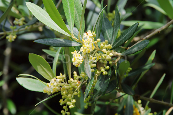 Olijfboom bloesem boom hout natuur blad Stockfoto © LianeM