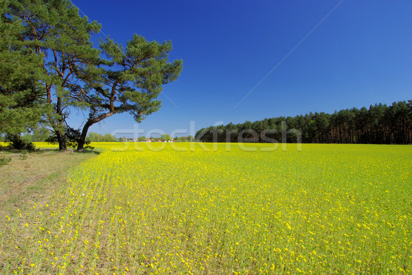 rape field and village 03 Stock photo © LianeM