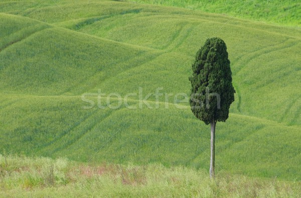 Tuscany cypress 01 Stock photo © LianeM