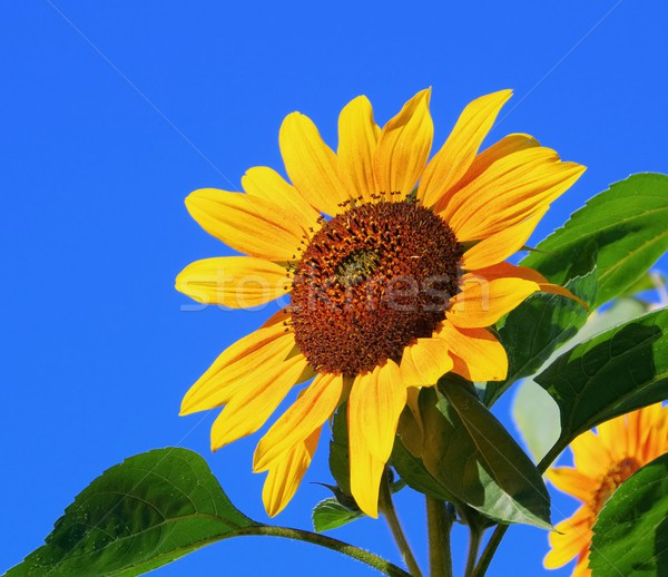 sunflowers  Stock photo © LianeM