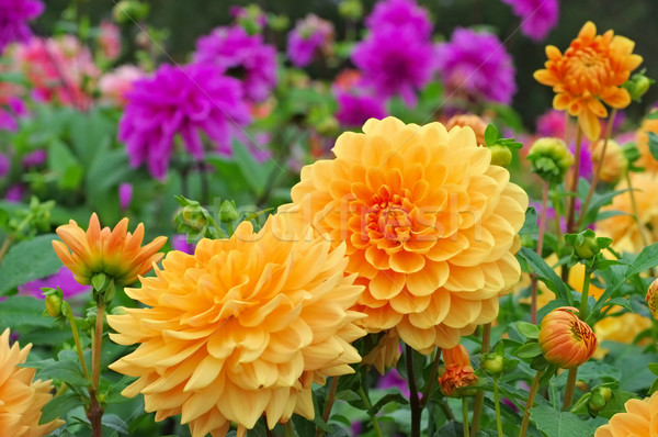 Stockfoto: Dahlia · oranje · tuin · zomer · blad
