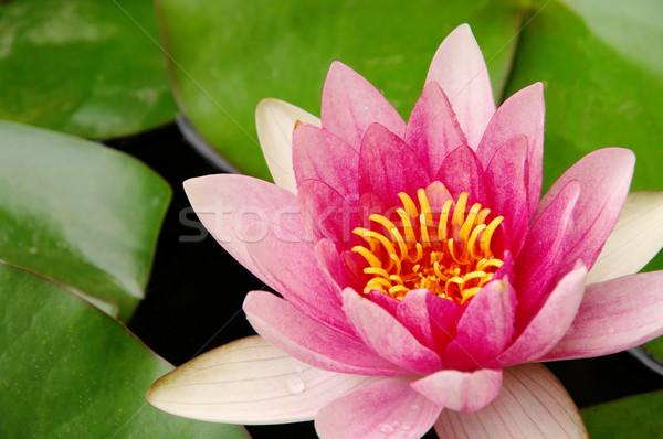 water lily 36 Stock photo © LianeM