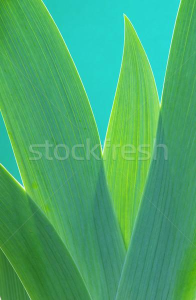Iris лист природы свет зеленый Сток-фото © LianeM