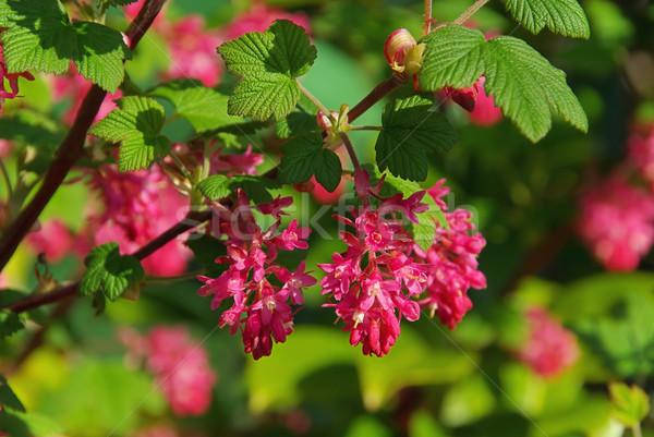 çiçekli frenk üzümü çiçek yaprak bahçe yeşil Stok fotoğraf © LianeM