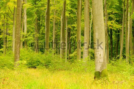 beech forest in fall 17 Stock photo © LianeM