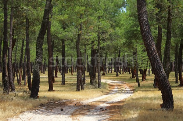 pine forest resin extraction 04 Stock photo © LianeM