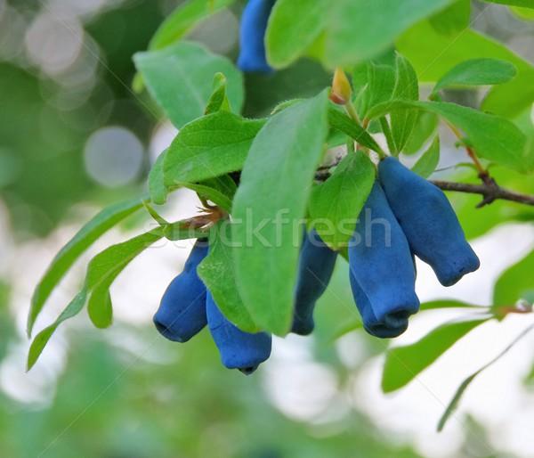 Sweetberry Honeysuckle  Stock photo © LianeM