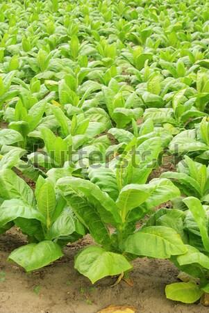 Megművelt dohány levél mező növények mezőgazdaság Stock fotó © LianeM