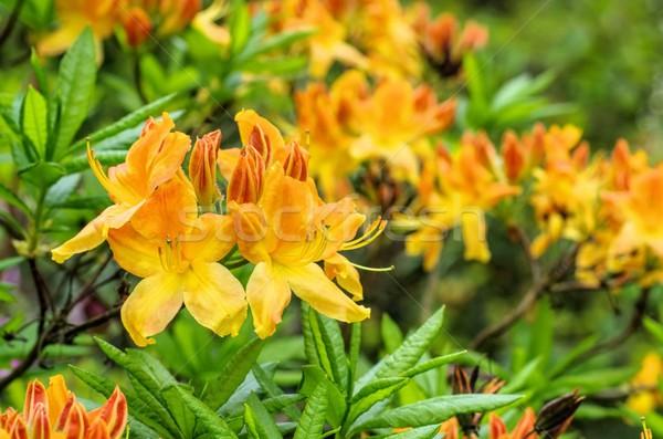 Azalea Geel voorjaar bloem Rood plant Stockfoto © LianeM