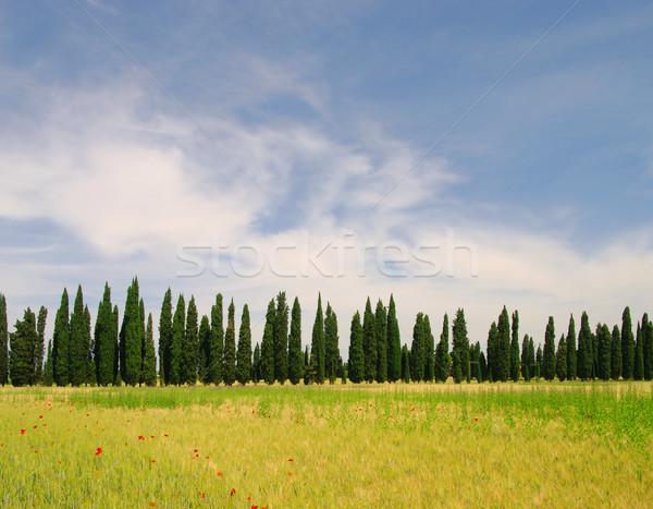 Cyprys niebo kwiat krajobraz drzew zielone Zdjęcia stock © LianeM
