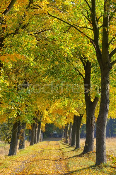 lime tree avenue 09 Stock photo © LianeM