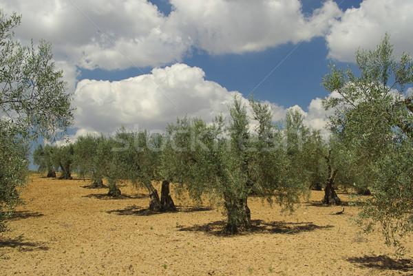 olive grove 01 Stock photo © LianeM