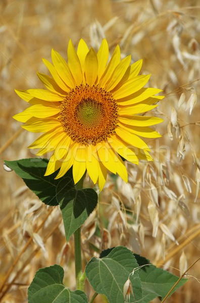 sunflowers field 12 Stock photo © LianeM