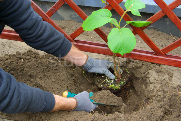 planting a kiwi plant 01 Stock photo © LianeM