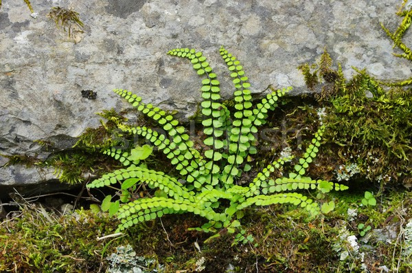 maidenhair spleenwort  Stock photo © LianeM