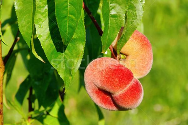 saturn peach 01 Stock photo © LianeM