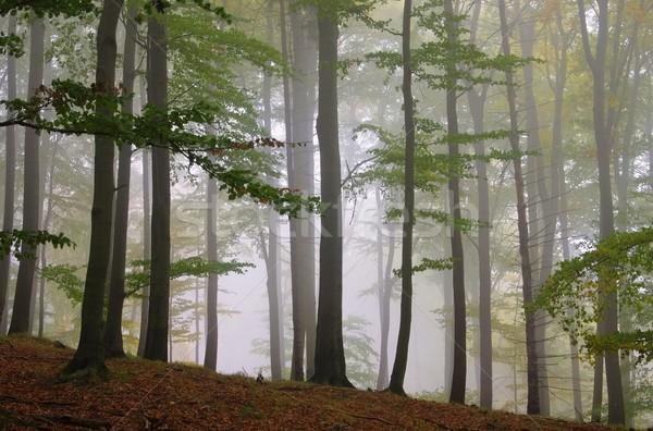 beech forest in fog 11 Stock photo © LianeM