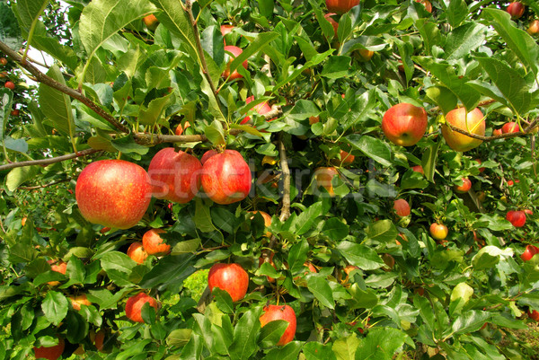 Stock photo: apple on tree 120