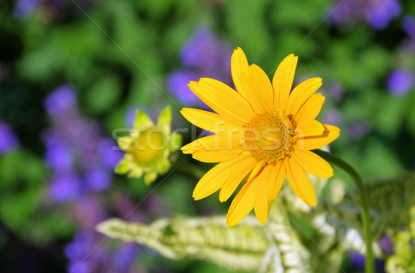 oxeye daisy 01 Stock photo © LianeM