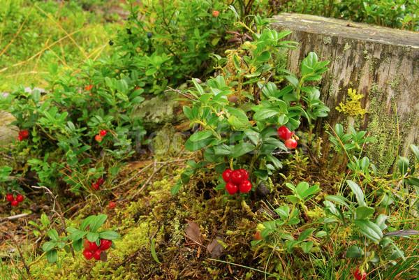 cowberry plant 18 Stock photo © LianeM