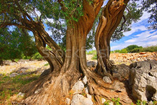 Olijfboom 12 boom natuur blad bladeren Stockfoto © LianeM